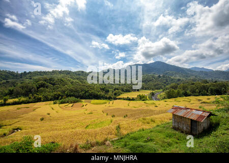 Rice terraces ready to be harvested in Wologai, Flores, Indonesia. - Stock Photo
