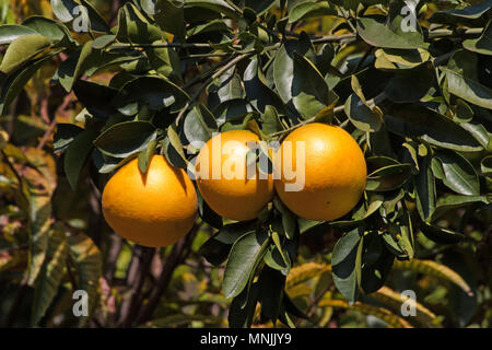 Grapefruit hanging on the tree - Stock Photo