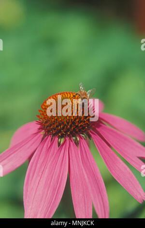 BUMBLE BEE ON PURPLE CONEFLOWER (ECHINACEA PURPUREA) - Stock Photo
