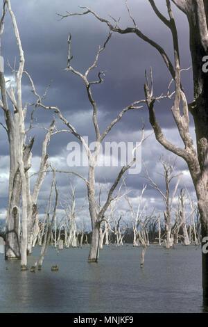 DROWNED TREES, LAKE MULWALA, VIC/NSW BORDER, AUSTRALIA - Stock Photo