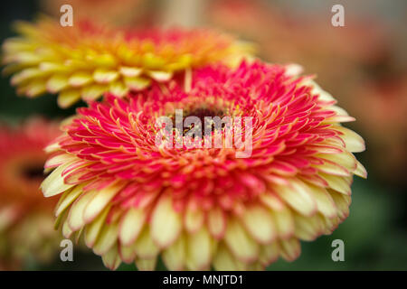 Beautiful colorful red chrysanthemum flowers bloom in spring garden.Decorative wallpaper with daisies flower blossom in springtime.Beauty of nature po - Stock Photo