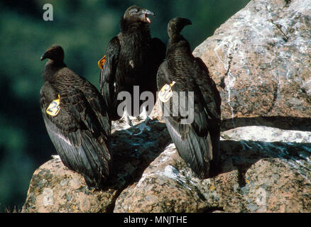 CALIFORNIA CONDOR (GYMNOGYPS CALIFORNIANUS) JUVENILE CONDORS IN THE WILD [ENDANGERED SPECIES] / LOS PADRES NATIONAL FOREST, CALIFORNIA - Stock Photo