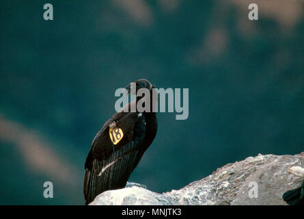 CALIFORNIA CONDOR (GYMNOGYPS CALIFORNIANUS) JUVENILE CONDORS IN THE WILD / ENDANGERED SPECIES LOS PADRES NATIONAL FOREST, CALIFORNIA - Stock Photo