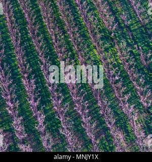 Flowering, fruit tree, Fruiturisme, Tourism Experience, Aitona village, Baix Segre, Lleida, Catalonia, Spain, Europe - Stock Photo