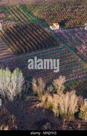 Flowering, Peach tree (Prunus persica), Silver poplar, Fruiturisme, Tourism Experience, Aitona village, Baix Segre, Lleida, Catalonia, Spain, Europe - Stock Photo