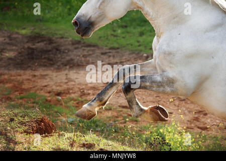 running  sandy Andalusian stallion in olive garden. close up - Stock Photo