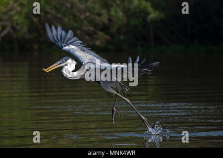 Cocoi (white-necked)  heron (Ardea cocoi) catching a fish in the Pantanal in southern Brazil - Stock Photo