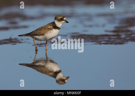 Semipalmated plover - Stock Photo