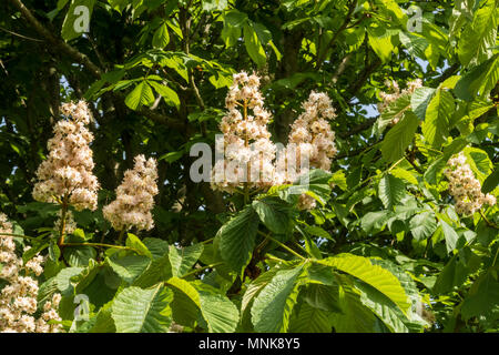 European horse chestnut tree in blooom blossom flower, Aesculus hippocastanum, Inflorescence - Stock Photo