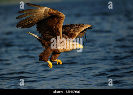 White tailed eagle fly for catch, bird of prey, (haliaeetus albicilla), norway - Stock Photo