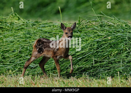 Roe deer fawn search her mother, cut grass, (capreolus capreolus) - Stock Photo
