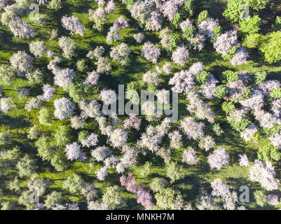 aerial photo view of orchard with apple trees lined up - Stock Photo