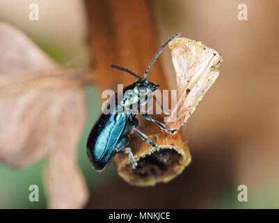 Altica sp. beetle on a dried plant, side view