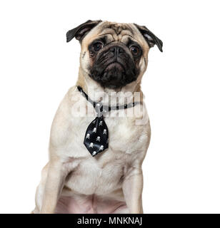 Pug wearing tie against white background - Stock Photo