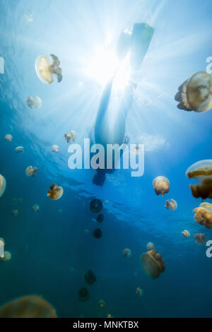 Underwater photo of tourist snorkeling with endemic golden jellyfish in lake at Palau. - Stock Photo