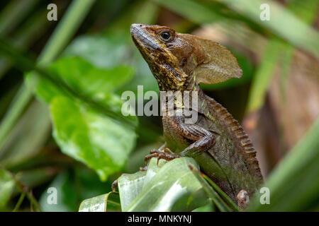 Brown Basilisk Lizard - Green Cay Wetlands, Boynton Beach, Florida, USA - Stock Photo