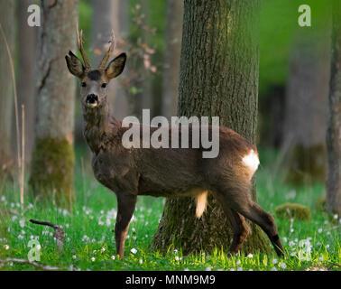 Ca 3 year old roebuck in early spring, still in its winter coat. Taken in Häckeberga naturreservat. - Stock Photo
