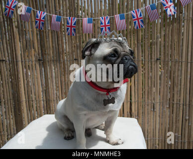 Mousehole, Cornwall, UK. 18th May 2018. TItan getting visibly excited about the prospect of the royal wedding on Saturday, but is still undecided as to what headgear a well dressed pug should be wearing to the event. Credit: Simon Maycock/Alamy Live News - Stock Photo