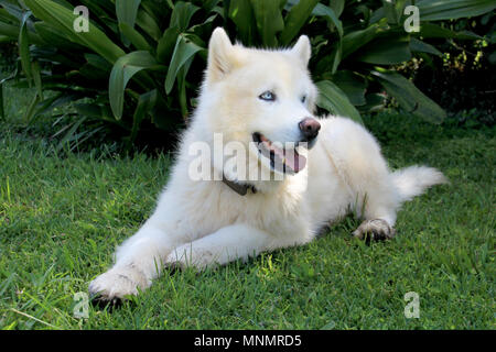 Pure White Siberian Husky Dog with Blue Eyes close up portrait - Stock Photo