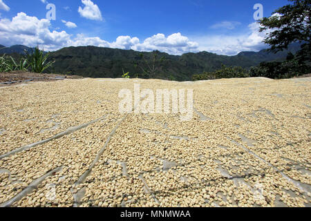 Coffee beans drying in the sun. Coffee plantations on the mountains of San Andres, Colombia - Stock Photo