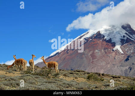 Vicunas, wild relatives of llamas, grazing at Chimborazo volcano vulcan, in the high andes, it is the highest mountain of Ecuador - Stock Photo