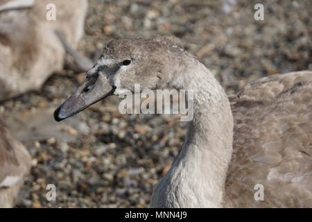 Side profile of a cygnet (baby swan) at a shingle beach in Saltash, Cornwall - Stock Photo