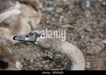 Cygnet (baby swan) drinking water at a shingle beach in Saltash, Cornwall, and dribbling. - Stock Photo