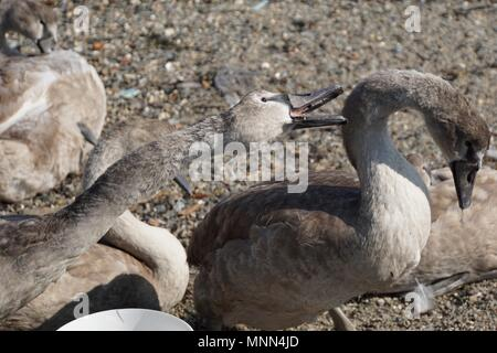 Cygnet (baby swan) biting sibling on the neck at a beach in Saltash, Cornwall - Stock Photo