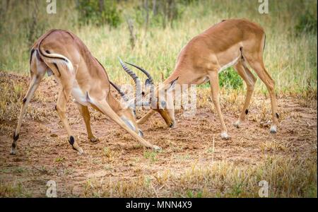 Impala(Aepyceros melampus) males engaing in rut battle in Tarangire National Park in Tanzania. - Stock Photo