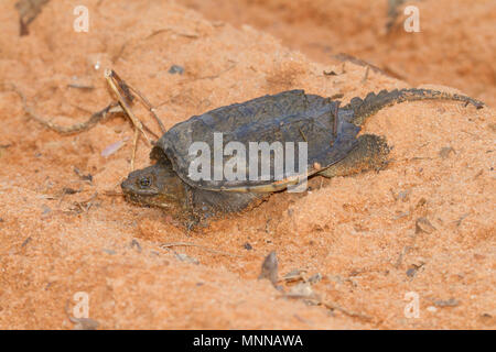 A young snapping turtle crossing a sandy road. - Stock Photo