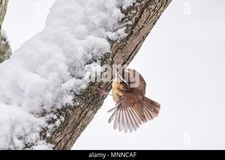 Closeup of one small brown carolina wren bird sitting perched on tree branch trunk during heavy winter snow colorful in Virginia, snow flakes falling, - Stock Photo