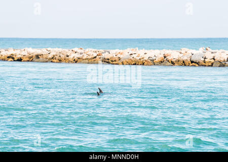 Two wild dolphins swimming in light blue water in Venice, Florida in South Jetty Park Harbor and Marina - Stock Photo