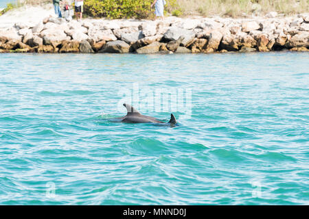 Two wild couple dolphins swimming in light blue water in Venice, Florida in South Jetty Park Harbor and Marina - Stock Photo