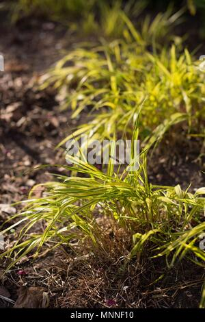 Hakonechloa macra, known as Japanese Forest Grass, at Lyndale Park in Minneapolis, Minnesota, USA. - Stock Photo