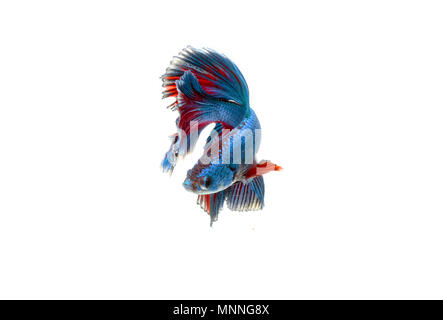 Betta fish moving moment of Siamese fighting fish isolated - Stock Photo