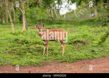 Male Bushbuck in Lake Mburo National Park in Uganda - Stock Photo