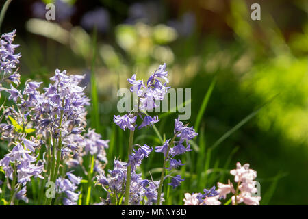 Spanish Bluebells (Hyacinthoides hispanica) flowering in the spring time in an English garden. - Stock Photo