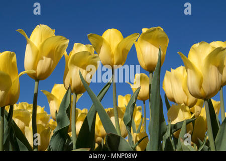 Yellow Tulip Flowers Blue Sky Photographed Low Point View - Stock Photo