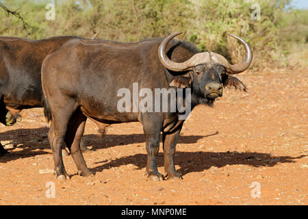 Large male African or Cape buffalo (Syncerus caffer), South Africa - Stock Photo