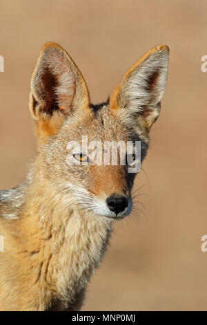 Portrait of a black-backed jackal (Canis mesomelas), Kalahari desert, South Africa - Stock Photo