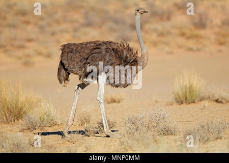 Female ostrich (Struthio camelus) in natural habitat, Kalahari desert, South Africa - Stock Photo