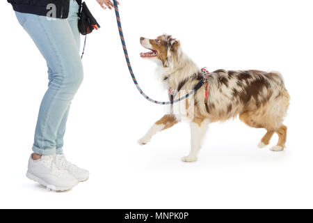 american shepherd leashed with a harness on white background - Stock Photo