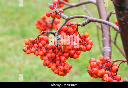 Rowan on the branches in late autumn after frost - Stock Photo