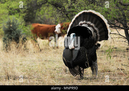 A male Gould's wild turkey, (M. g. mexican, and several females roam the grasslands in the foothills of the Santa Rita Mountains, Coronado National Fo - Stock Photo