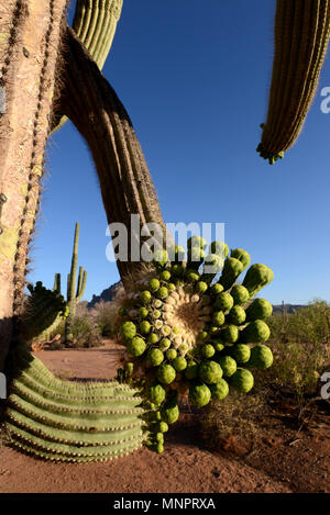Ironwood trees bloom as saguaro cactus bud prior to blooming, Silverbell Mountains, Ragged Top Peak, Ironwood Forest National Monument, Sonoran Desert - Stock Photo