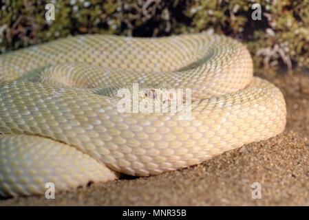 Animals: white western diamondback rattlesnake or Texas diamond-back (Crotalus atrox), closeup shot - Stock Photo