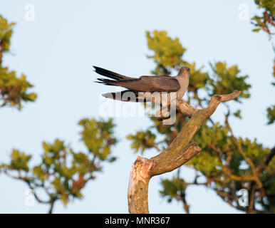 Agrey male Cuckoo (Cuculus canorus) perched in tree at sunrise, Oxfordshire - Stock Photo