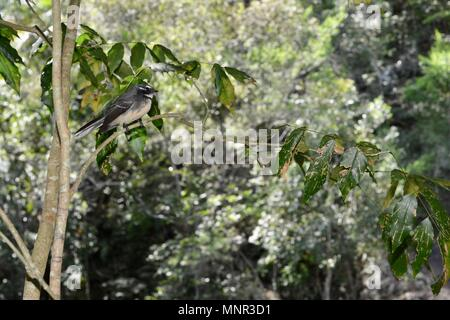 A grey fantail Rhipidura albiscapa on a tree near a river, Jourama Falls, Bruce Hwy, Yuruga QLD, Australia - Stock Photo