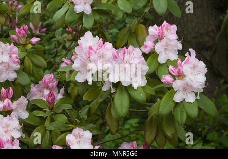 Rhododendron 'Charles E Pearson' flowers. - Stock Photo