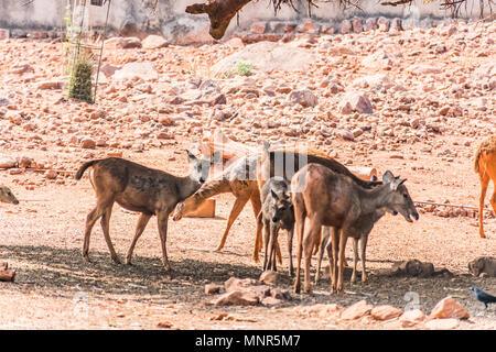 Close view of group of Thamin Deer standing under a tree shadow in a public park. - Stock Photo
